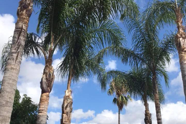 High Point Tree Service - Palms Pruned